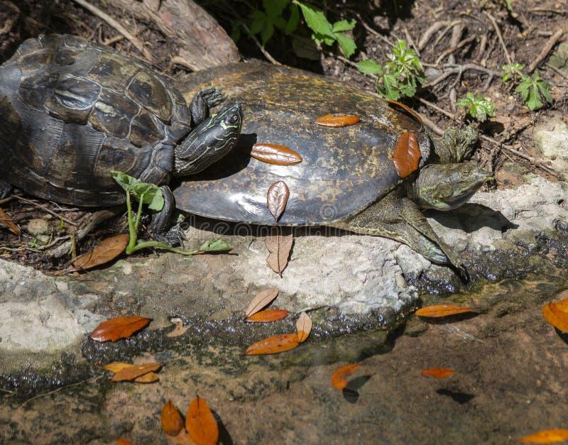 Tortue épineuse de Doux-SHELL et tortue peinte photos libres de droits