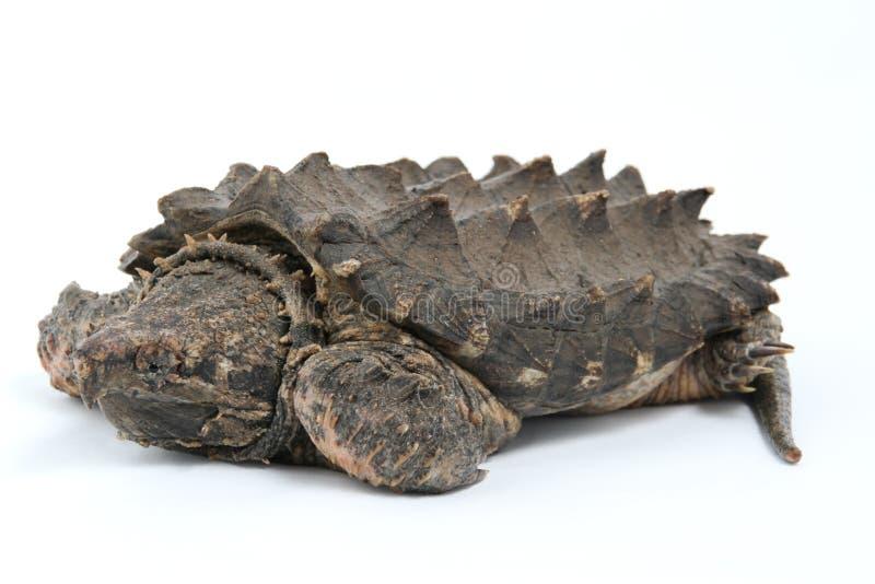 Tortue étant enclenchée d'alligator image libre de droits