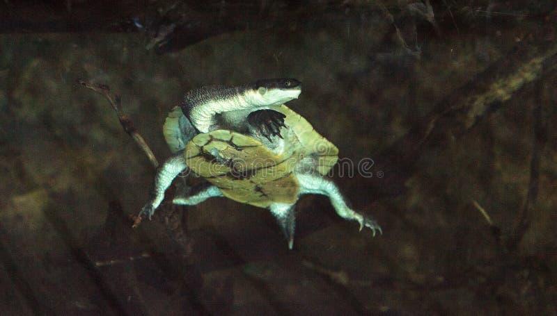 Download Tortue étranglée De Serpent De Parkers Connue Sous Le Nom De Parkeri De Chelodina Image stock - Image du serpent, fleuve: 87701875