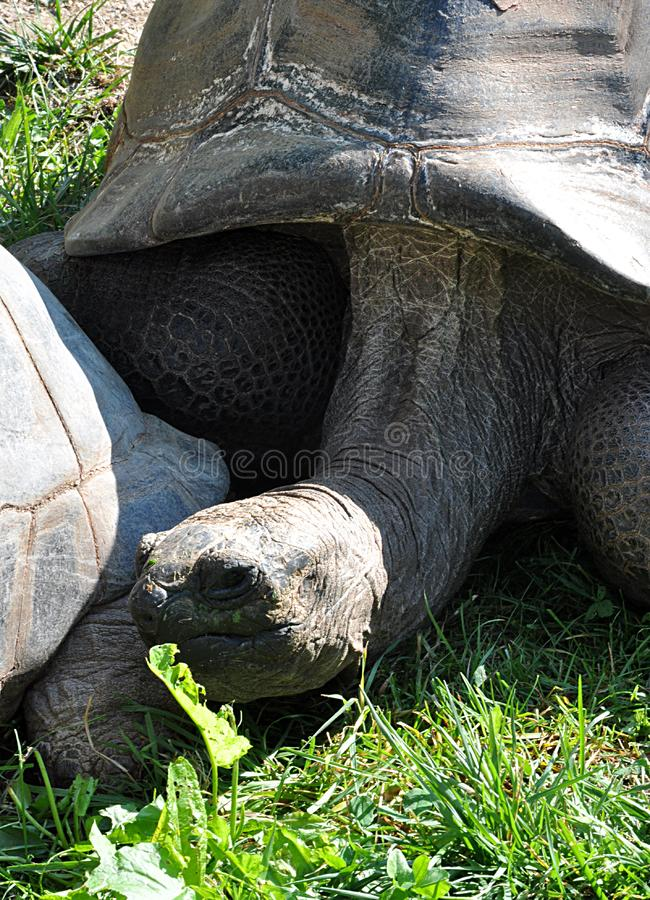 Download Tortue animale image stock. Image du faune, sauvage, grand - 77153971