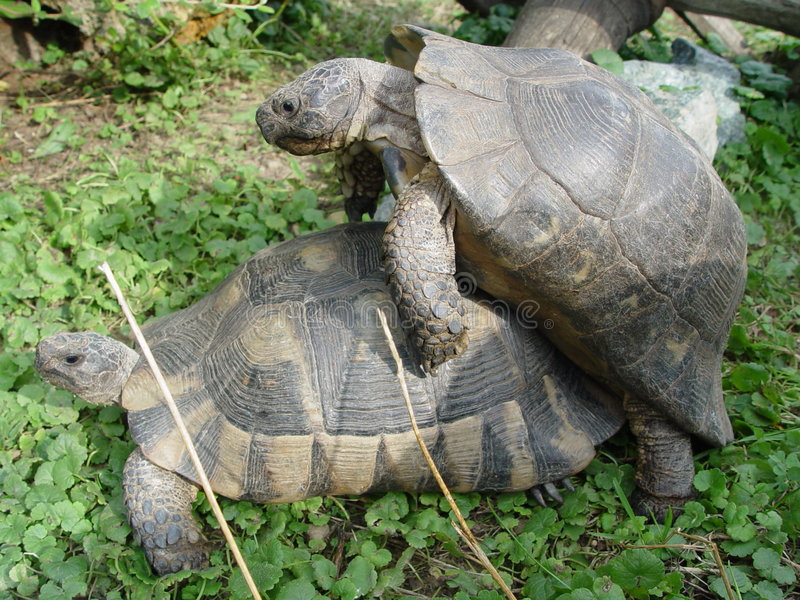 Tortue Aux Rapports Sexuels Photo stock