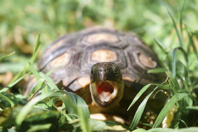 Tortue avec la position ouverte de bouche sur une herbe ?paisse photo libre de droits