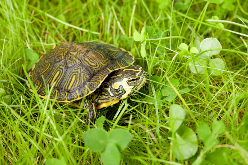 Tortue dans l'herbe photographie stock