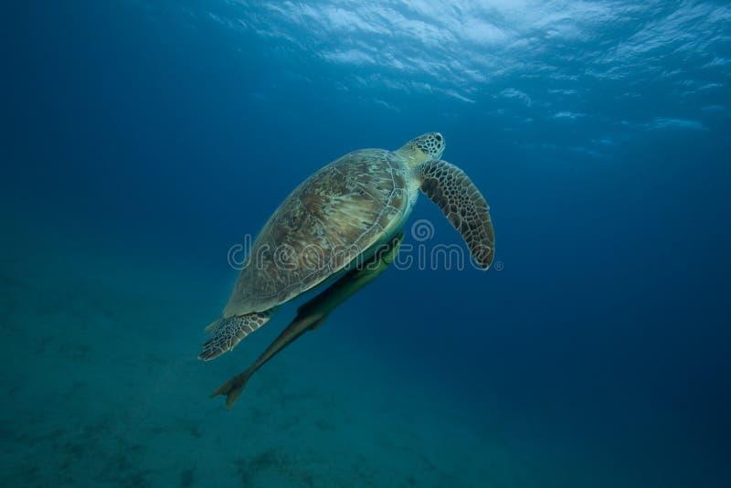 Tortue dans l'océan image libre de droits