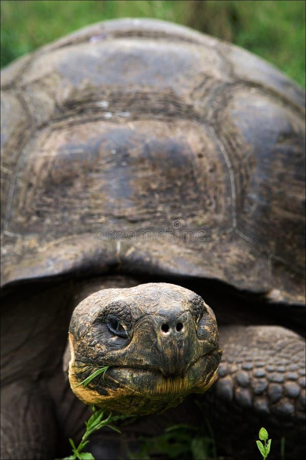 Tortue de Galapagos. image stock