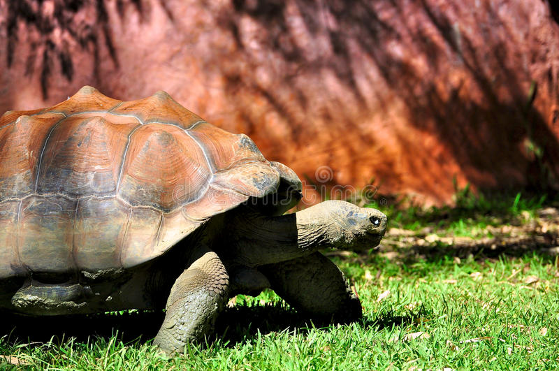 Tortue de Galapagos photos stock