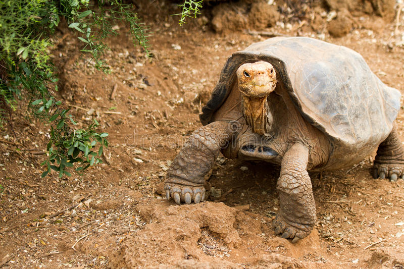 Tortue de Galapagos images stock