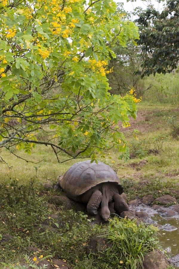 tortue de Galapagos photo libre de droits