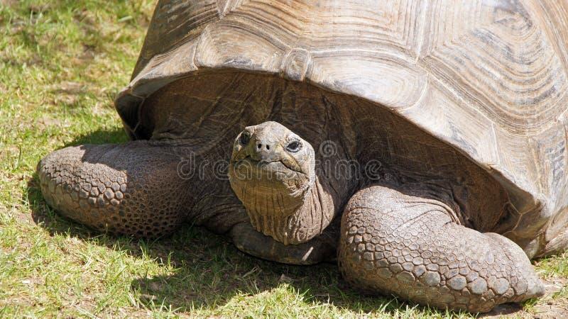 Tortue de Galapagos dans le zoo de Beauval image stock