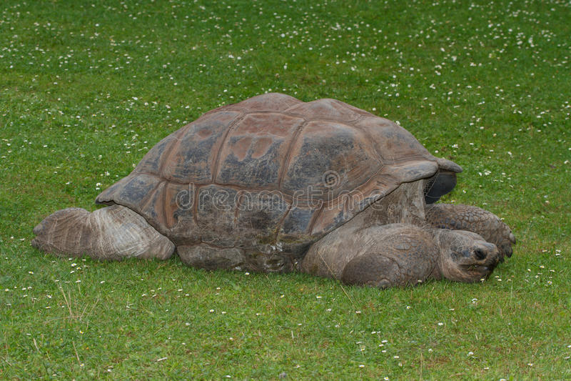 Tortue de Galapagos de géant sur l'herbe Plan rapproché photographie stock libre de droits