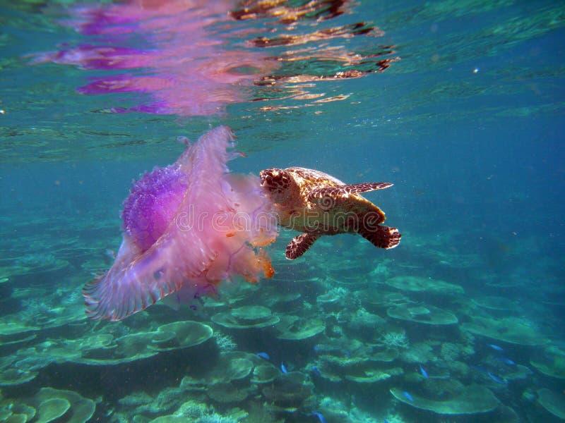 Tortue de Hawksbil avec des méduses photographie stock