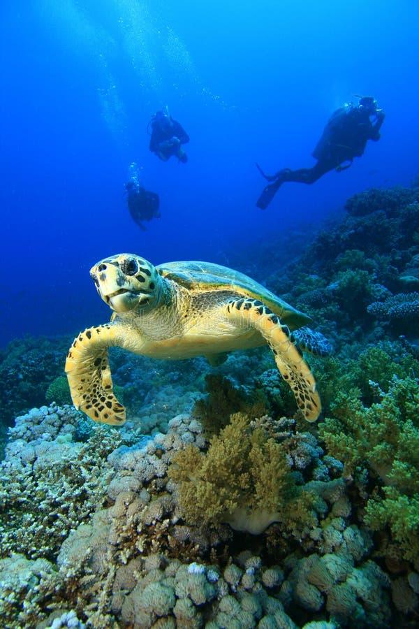 tortue de hawksbill de plongeurs image libre de droits