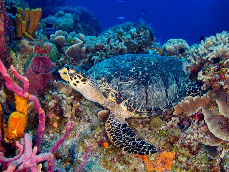 Tortue de Hawksbill se reposant sur le corail coloré image libre de droits