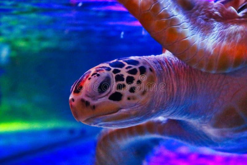 Tortue de l'eau dans l'aquarium de vie marine à Bangkok images libres de droits