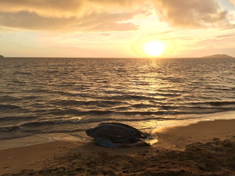 tortue de leatherback sur la plage française de la Guyane images stock