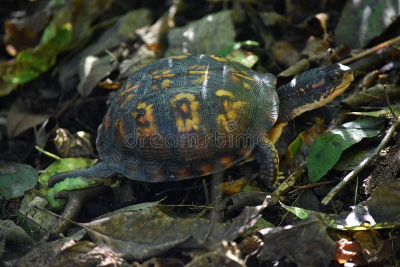 Tortue de marais marchant d'un pas tranquille le long photographie stock libre de droits