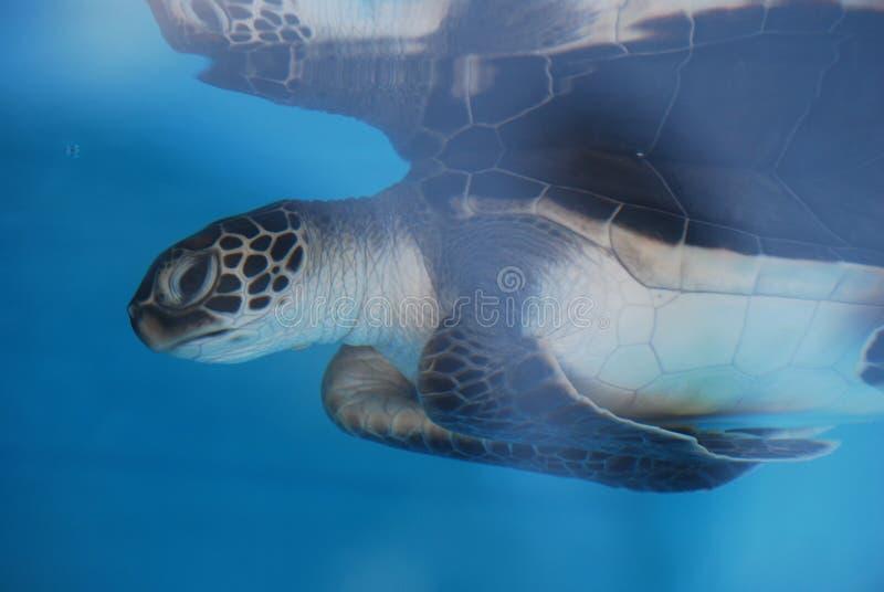 Tortue de mer étonnante reflétée dans l'eau images libres de droits