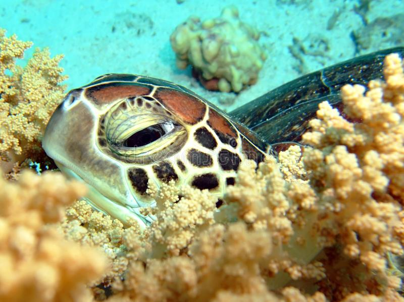 Tortue de mer photographie stock libre de droits