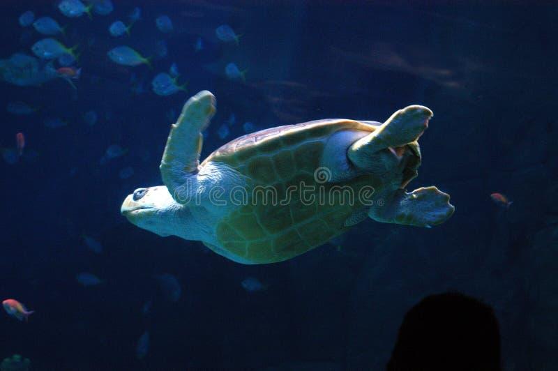 Download Tortue de mer photo stock. Image du britain, plymouth, tortue - 733848