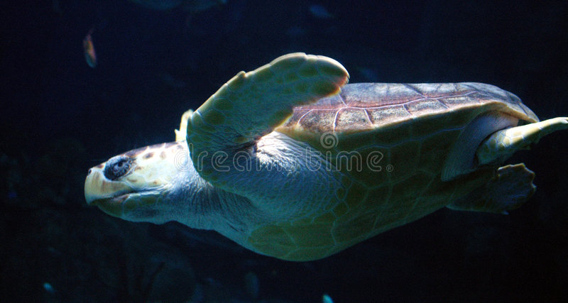 Download Tortue de mer image stock. Image du bleu, angleterre, nageoires - 733873