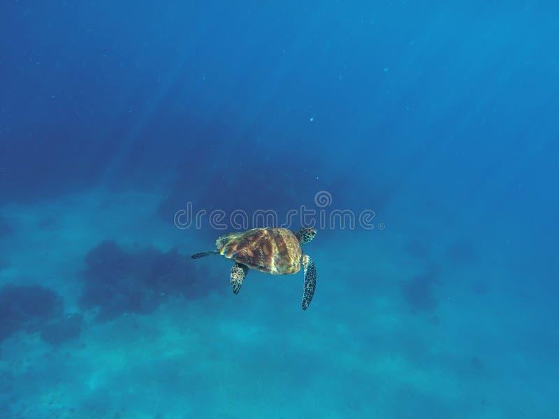 Tortue de mer dans l'eau bleue Natation de tortue verte en mer bleue profonde photographie stock libre de droits