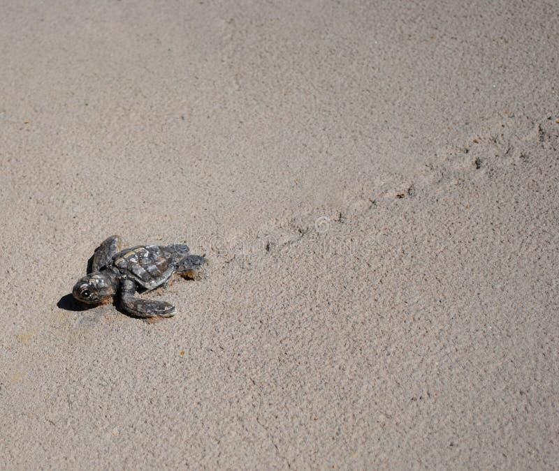 Tortue de mer de chéri photographie stock libre de droits