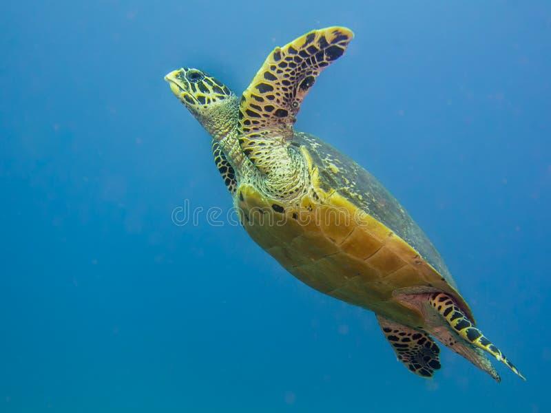 Tortue de mer de Hawksbill nageant sous l'eau image stock