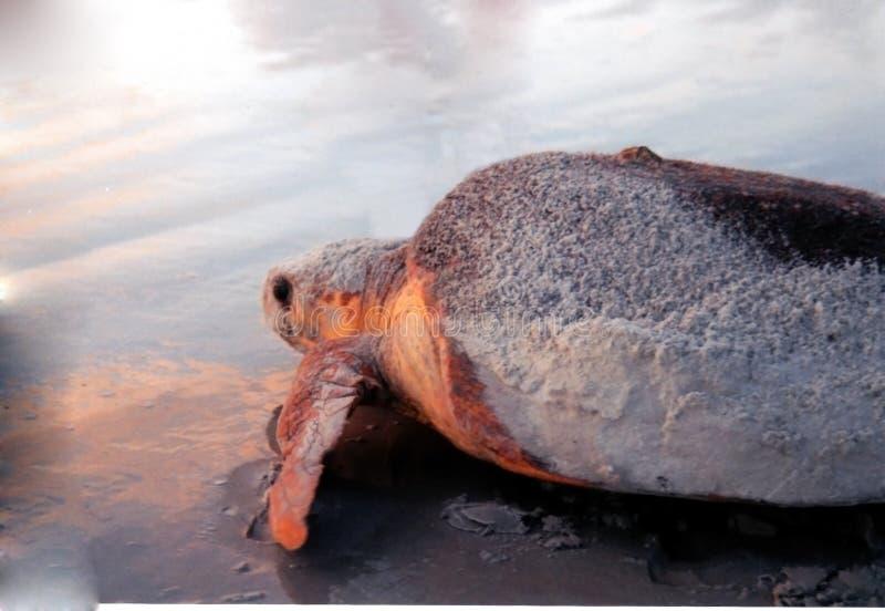 Tortue de mer de la Floride au lever de soleil images libres de droits