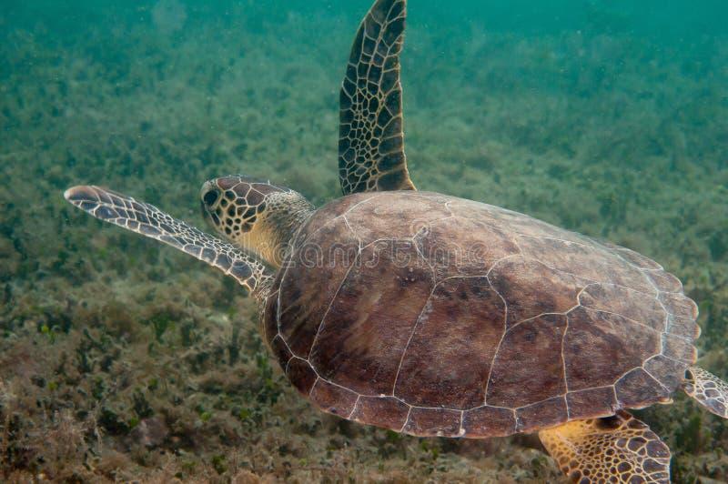 Tortue de mer de merisier sur un récif en Floride du sud photos stock