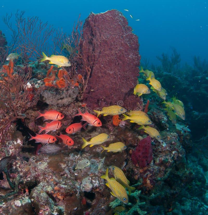 Tortue de mer de merisier sur un récif en Floride du sud image stock
