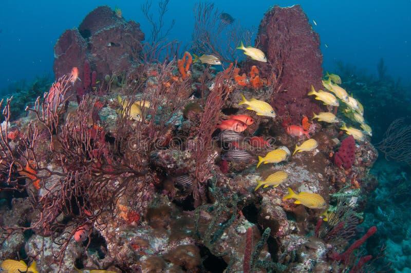 Tortue de mer de merisier sur un récif en Floride du sud photographie stock