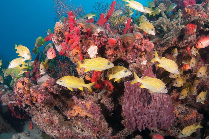 Tortue de mer de merisier sur un récif en Floride du sud images libres de droits