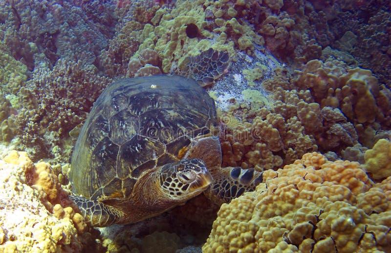Tortue de mer en Hawaï photo libre de droits