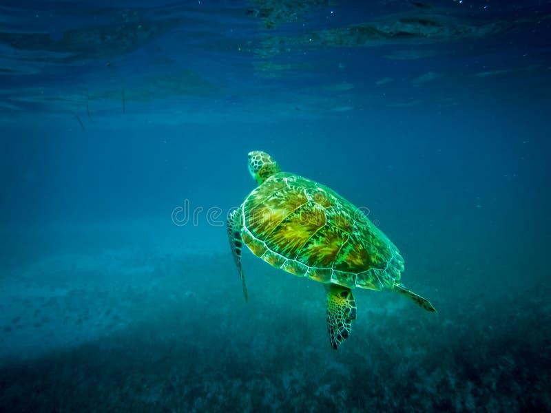 Tortue de mer en mer des Caraïbes - matoir de Caye, Belize image libre de droits