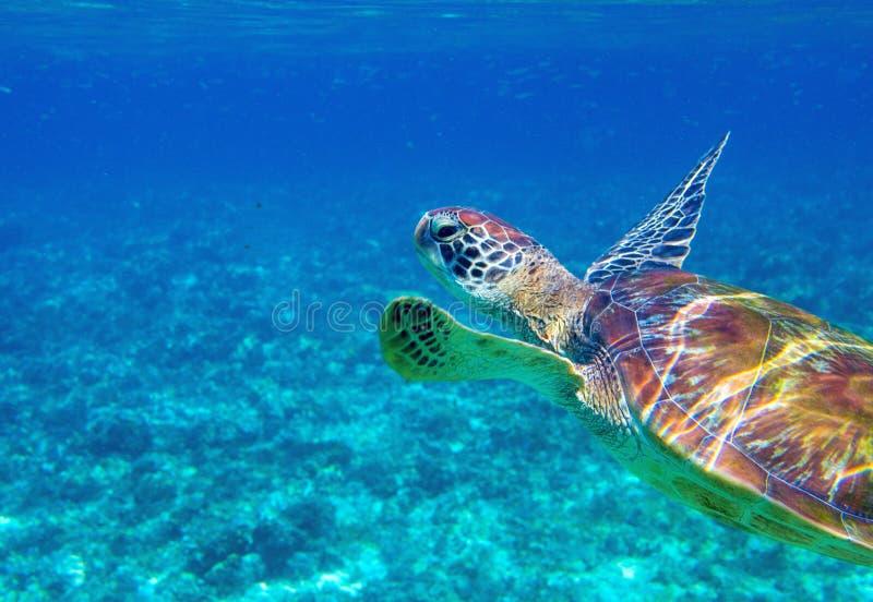 Tortue de mer en plan rapproch? de l'eau bleue Photo d'eau du fond de tortue verte Animal marin sauvage dans l'environnement natu photos stock