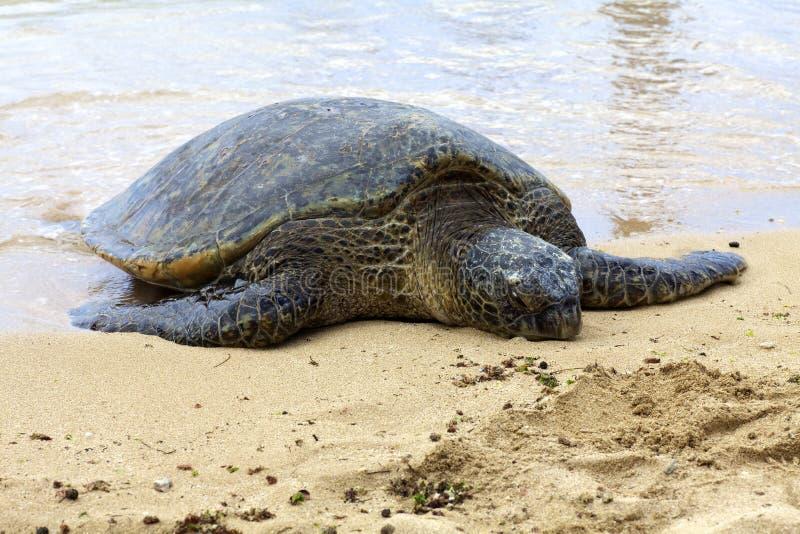 Tortue de mer hawaïenne photos libres de droits