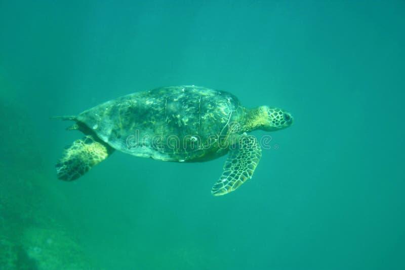 tortue de mer hawaïenne verte photographie stock