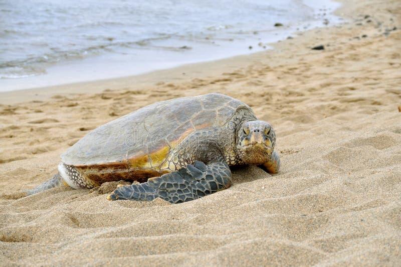 tortue de mer hawaïenne verte photo stock