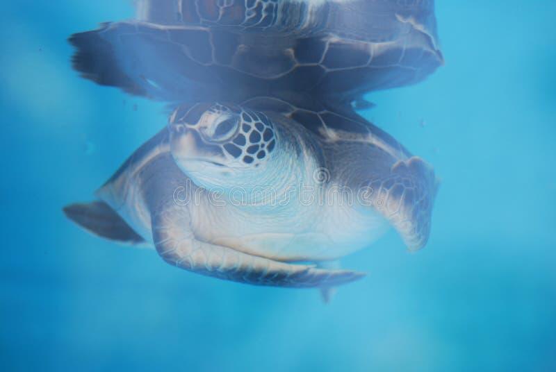 Tortue de mer mignonne de bébé sous-marine image stock