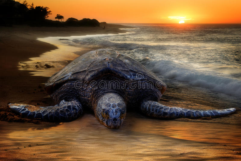 Tortue de mer, plage de coucher du soleil image stock