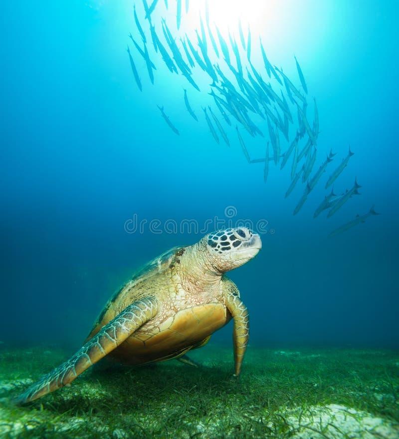 Tortue de mer profondément sous-marine photo stock