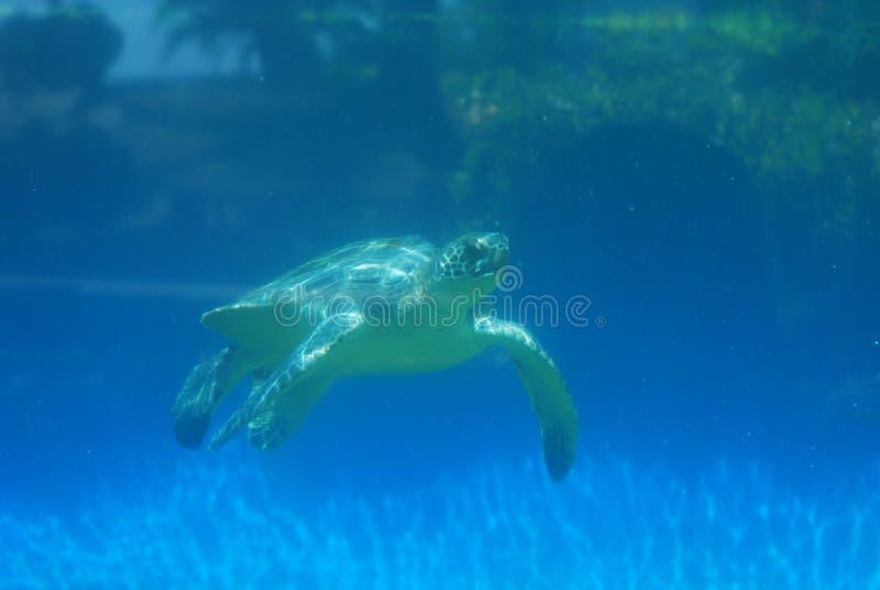 Tortue de mer se déplaçant sous l'eau photo libre de droits
