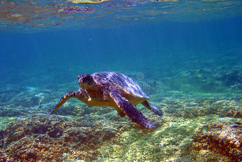 Tortue de mer sous-marine en Hawaï photographie stock libre de droits