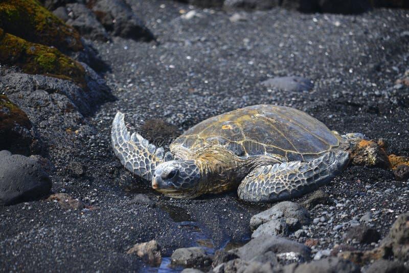 Tortue de mer sur la plage photo libre de droits