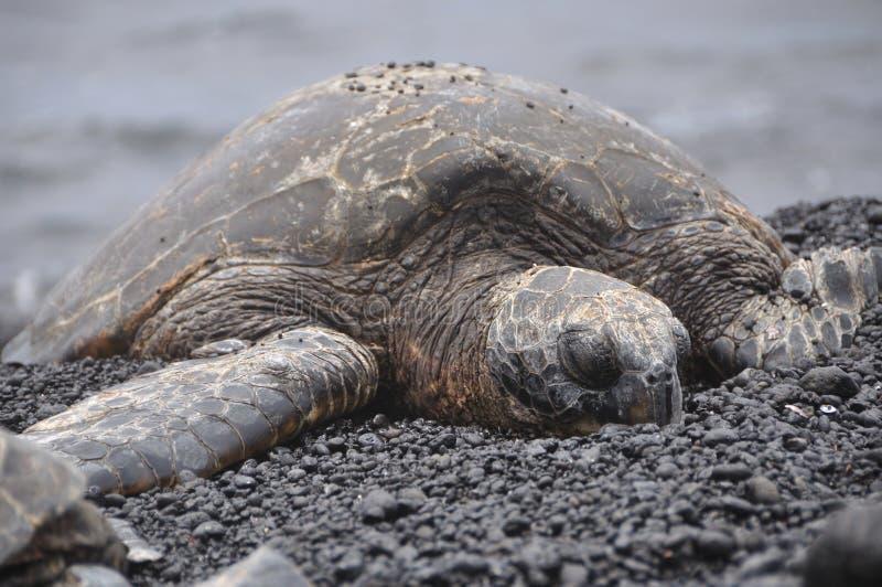 Tortue de mer sur la plage noire de sable photographie stock libre de droits