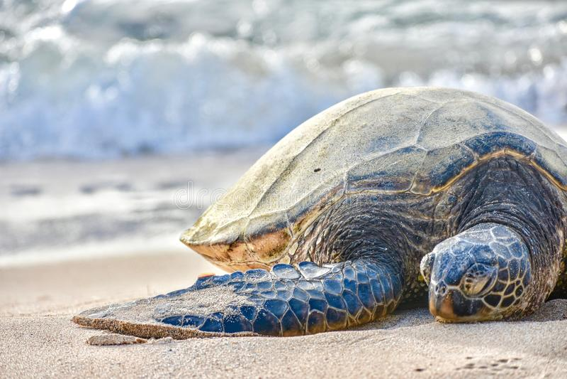 Tortue de mer sur une plage images libres de droits