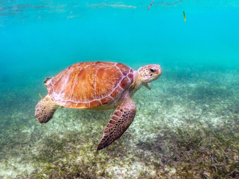 Tortue de mer verte avec le Suckerfish de Remora sur Shell photos stock