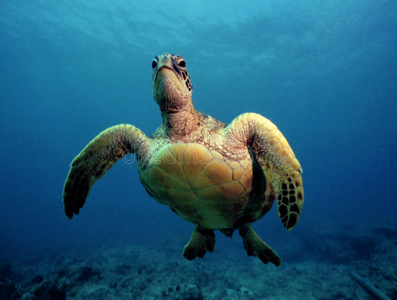 Tortue de mer verte curieuse - Oahu photo libre de droits