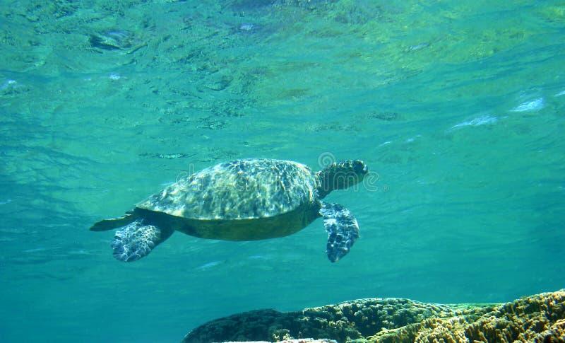 tortue de mer verte d'Hawaï image libre de droits