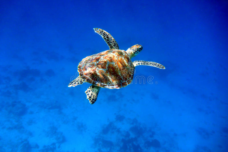 Tortue de mer verte de natation image stock